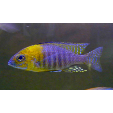 "Aulonocara sp. ""Chitande Type North"" Nkhata Bay Yellow Head (Rare)"