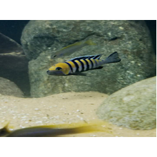 "Cynotilapia zebroides ""Cobue"" (Orange Top)  Rare"