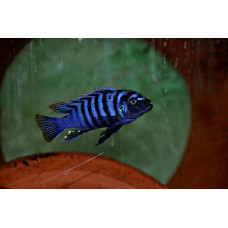 "Cynotilapia  zebroides ""Ntekete""  (White/Red Top) (Rare)"