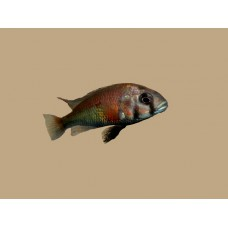 Ptyochromis sp. salmon (Hippo Point Salmon)