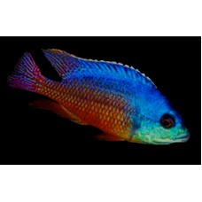 Protomelas taeniolatus Red (Fire Hap) (Super Red Empress)
