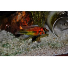 "Xystichromis sp. ""Kyoga flameback"""